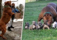 Пёс по имени Халк — самый большой питбуль в мире